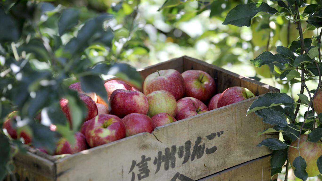 長野県飯綱町で花開いた「英国りんご」の魅力を知る旅へ ...